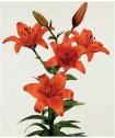 Лилия оранжевая
